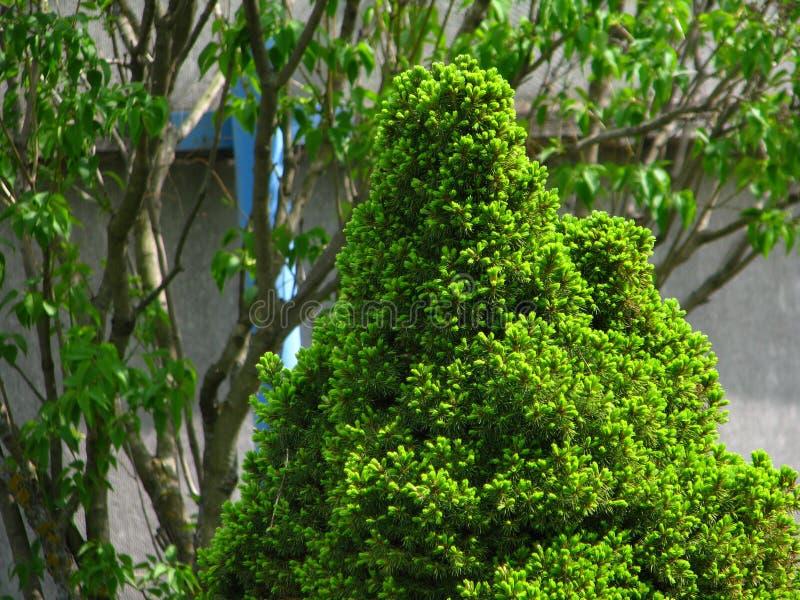 Een kleine altijdgroene naaldboom onder de zon stock afbeeldingen