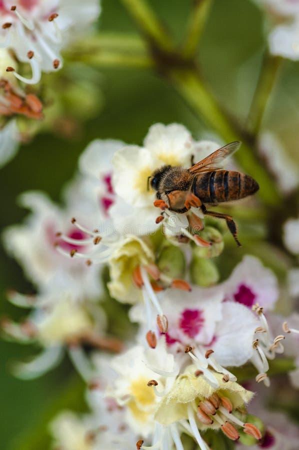 Een kleine bij verzamelt nectar stock afbeeldingen