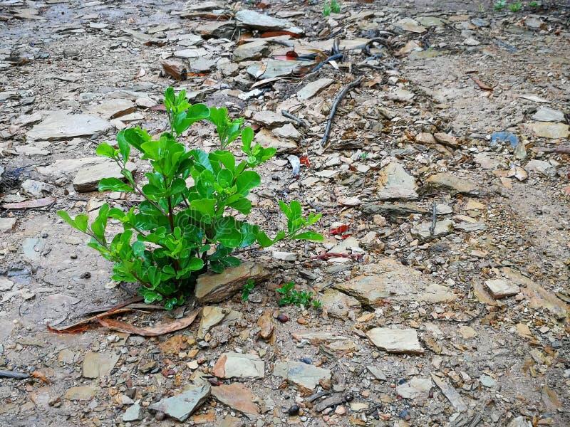 Een kleine blad groene struik op een natte landweg door een bos in Robertson, Zuid-Afrika stock foto's