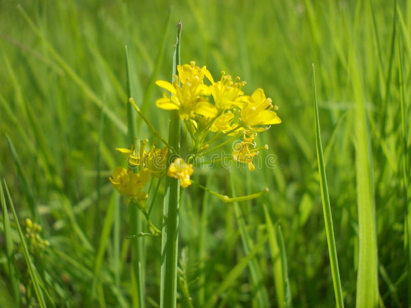 Een kleine bloem onder het gras stock fotografie