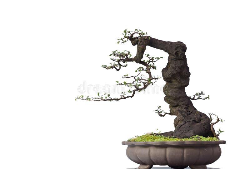 Bonsai op wit stock foto