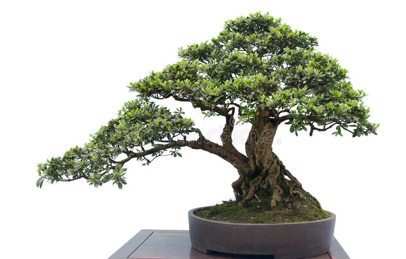 Bonsai op wit royalty-vrije stock foto