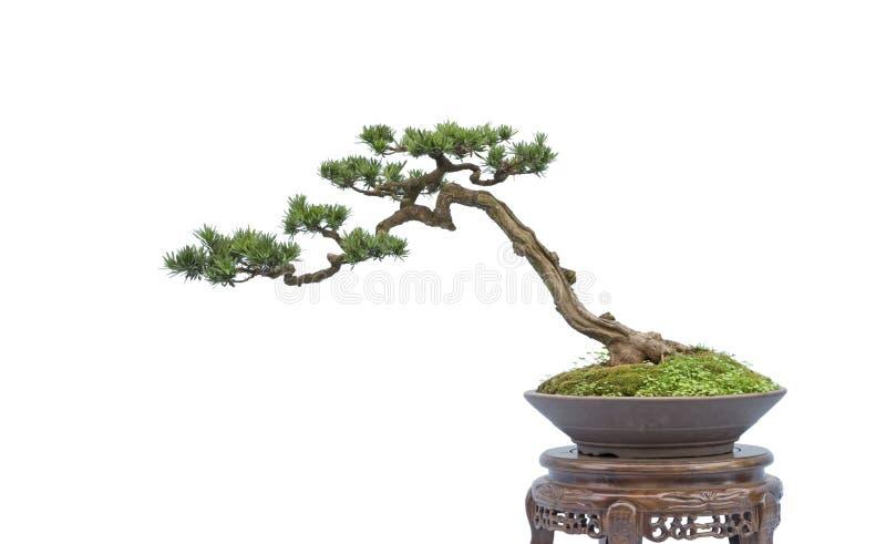 Bonsai op wit stock afbeelding