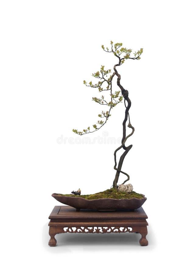 Bonsai op wit royalty-vrije stock afbeeldingen