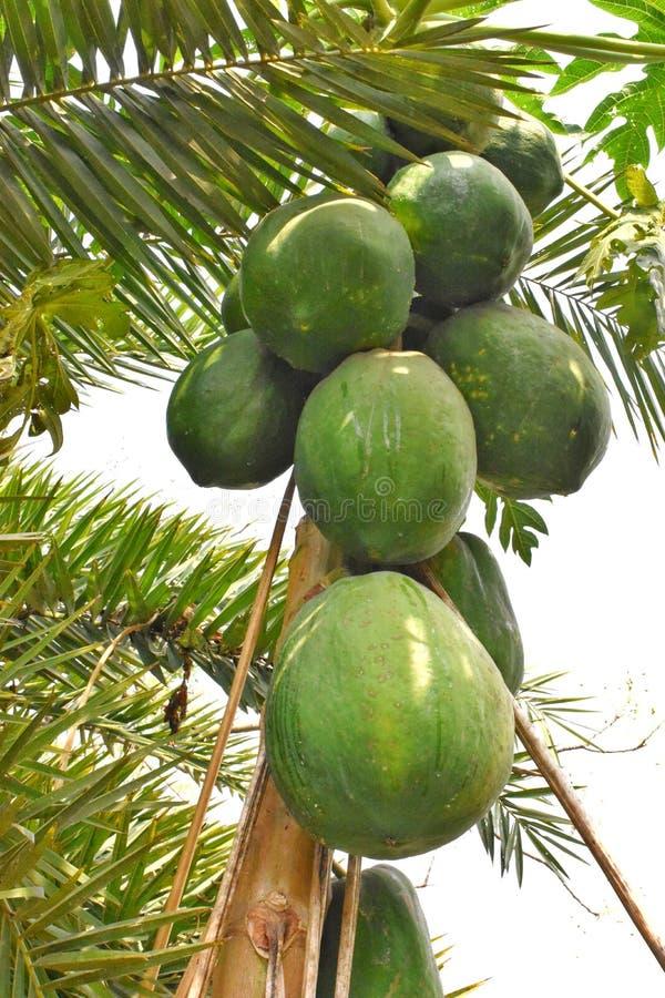 Een kleine boom op grote vette papaja stock foto