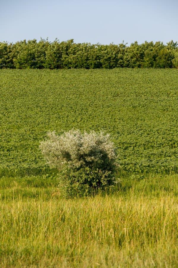 Een kleine boom op een tabaksgebied Blauwe hemel Landbouw en de Landbouwconcept stock afbeeldingen