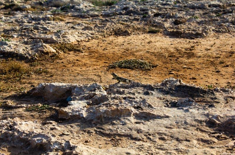 Een kleine bruine hagedis op hete gele stenen naast het droge geschroeide gras in de woestijn in Cyprus Rotsachtige droge grond stock foto's
