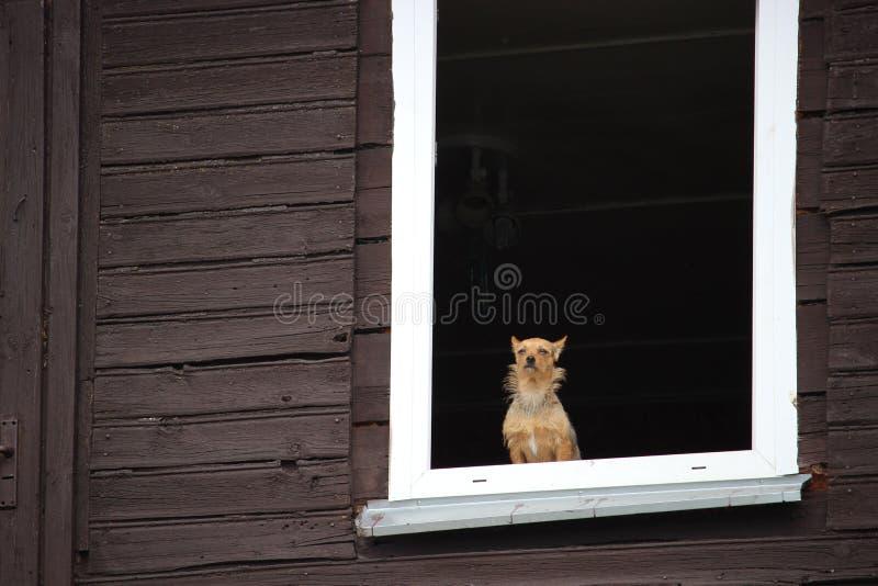 Een kleine bruine hond die calmly door het venster van oud blokhuis kijken royalty-vrije stock afbeeldingen