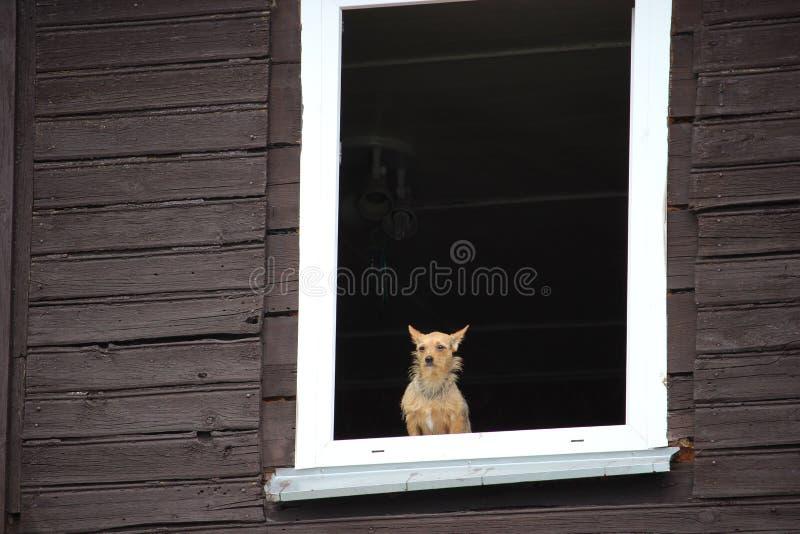 Een kleine bruine hond die calmly door het venster van oud blokhuis kijken royalty-vrije stock foto's