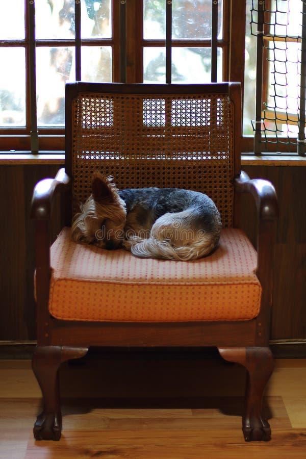 Een kleine bruine hondslaap op een stoel stock afbeeldingen