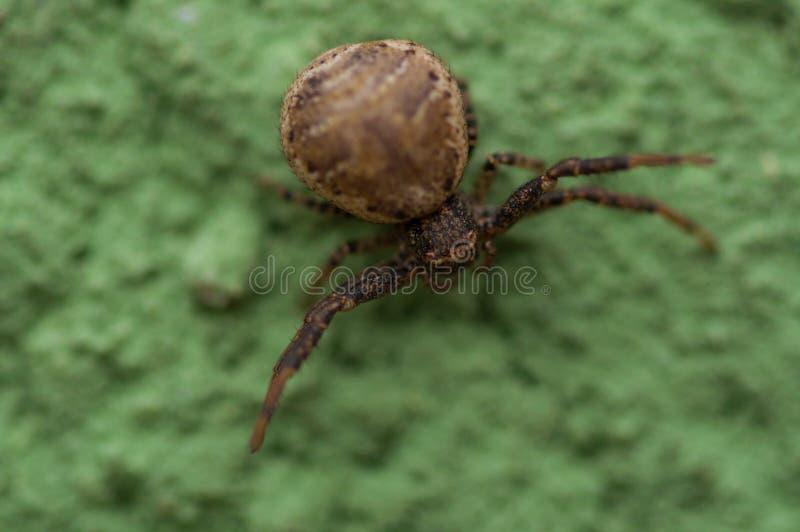 Een kleine die spin op een groene achtergrond wordt geïsoleerd Spin op groene muur stock foto