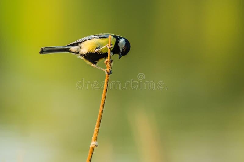 Een kleine Europese gele en zwarte zangvogel, koolmees stock foto's