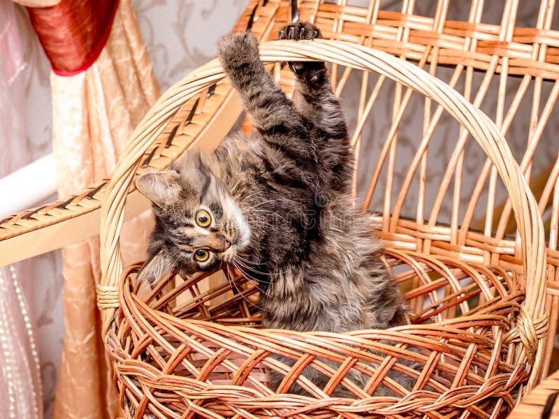 Een kleine gestreepte speelse kat in een rieten mand die zich voor een mandhandvat vastklampen Een katje wordt gespeeld in een ma stock afbeelding