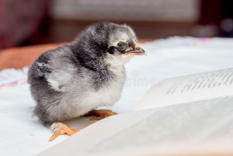 Een kleine grijze pluizige kip dichtbij een open boek Het onderwijzen om te lezen royalty-vrije stock foto's