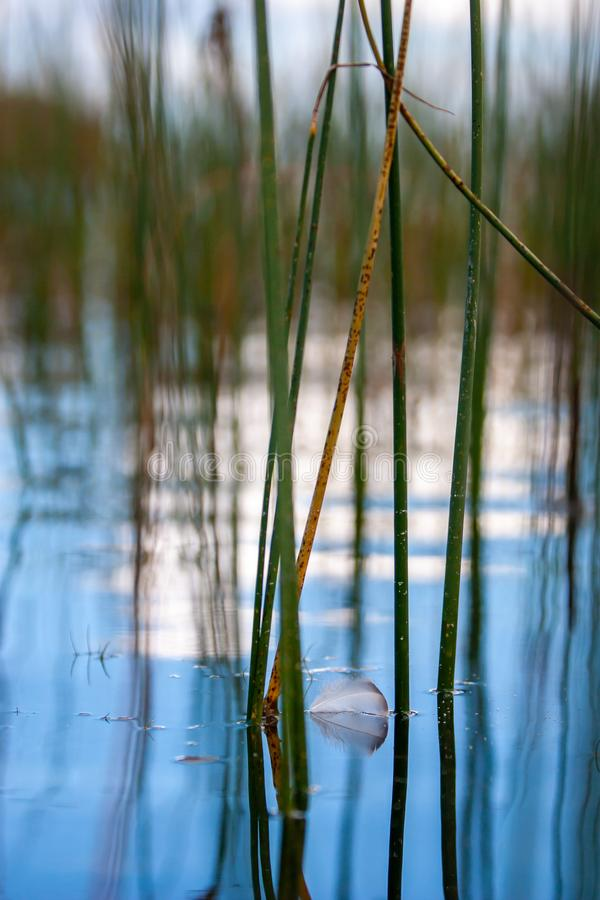 Een kleine grijze veer drijft op water onder de rietstelen stock afbeelding