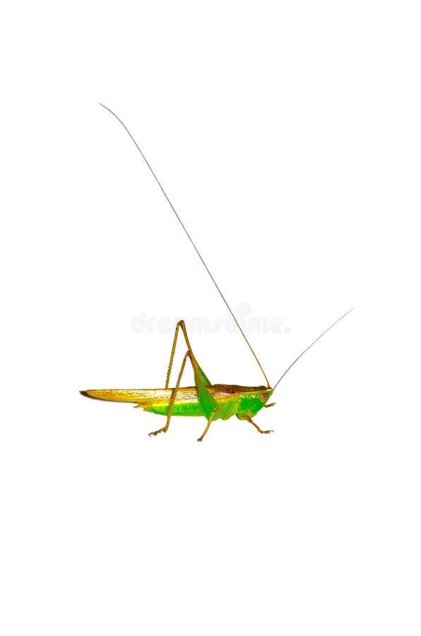 Een kleine Groene en bruine die sprinkhaan op witte achtergrond wordt geïsoleerd royalty-vrije stock foto's