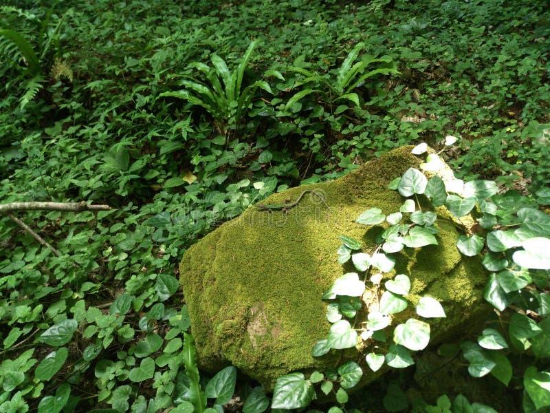 Een kleine groene hagedis ligt op een bemoste steen, glanzend zigzagtorso, uitgespreide benen zonnestralen op de bladeren van wij stock foto