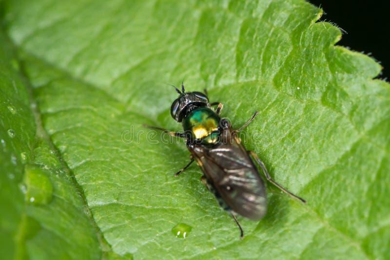 Een kleine groene vliegzitting op een groen blad royalty-vrije stock afbeeldingen