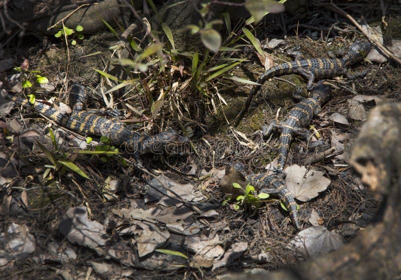 Het Slapen van de Alligators van de baby stock foto's