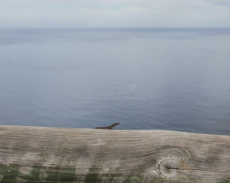 Een kleine hagedis, blauwe wateren van de Atlantische Oceaan stock foto