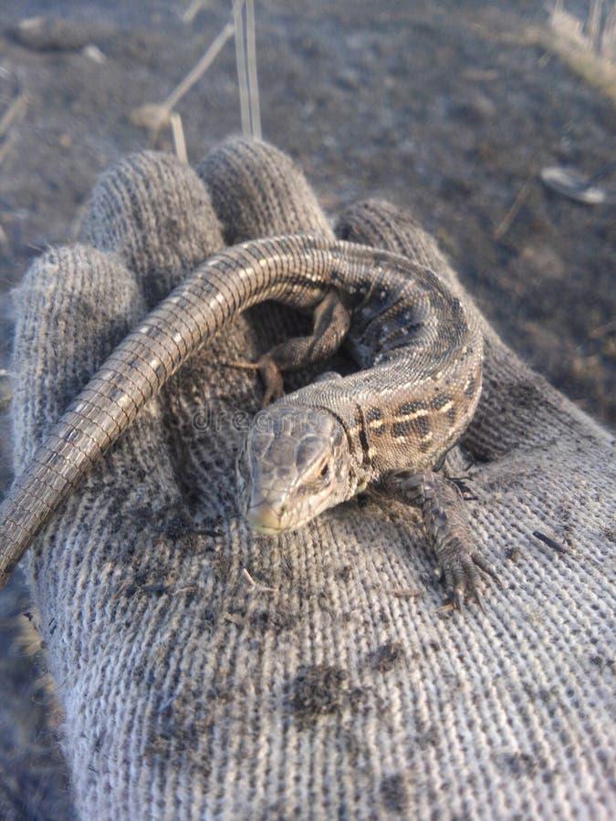 Een kleine hagedis zoals een draak zonder vleugels stock fotografie