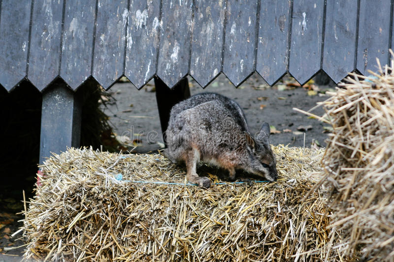 Een kleine kangoeroe zit op het hooi royalty-vrije stock afbeeldingen
