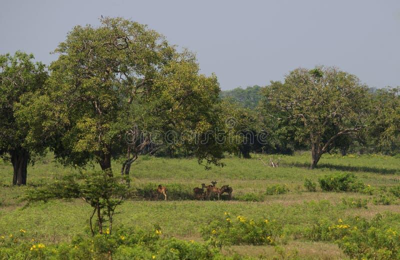 Een kleine kudde van herten die onder een boom tijdens een hete middag rusten Yalapark, Sri Lanka stock afbeelding
