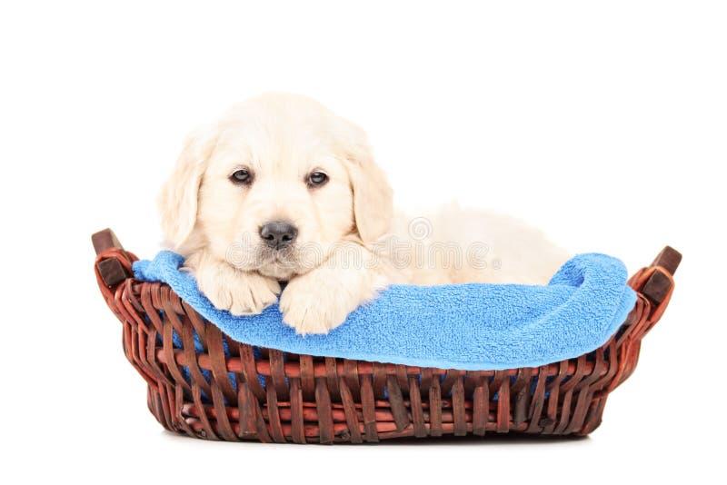 Een kleine labrador retriever hond in een mand stock afbeeldingen