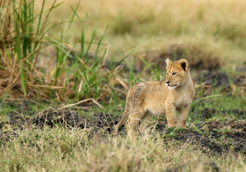 Een kleine leeuwwelp royalty-vrije stock foto's