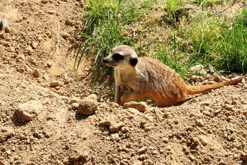 Een kleine meerkat die op uw vriend wachten stock afbeelding