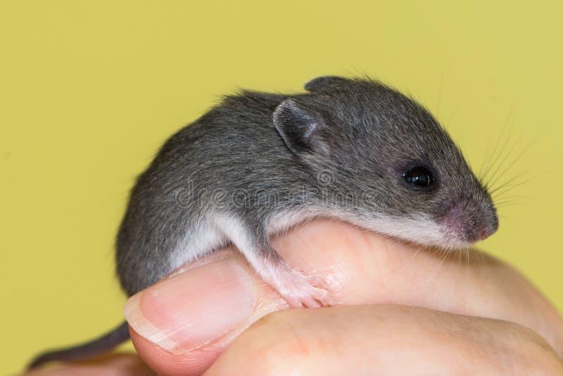 Een kleine muis van het babyhuis drapeerde over een vinger royalty-vrije stock afbeeldingen