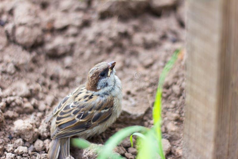 Een kleine Mus met een beschadigde vleugel zit aarde royalty-vrije stock foto
