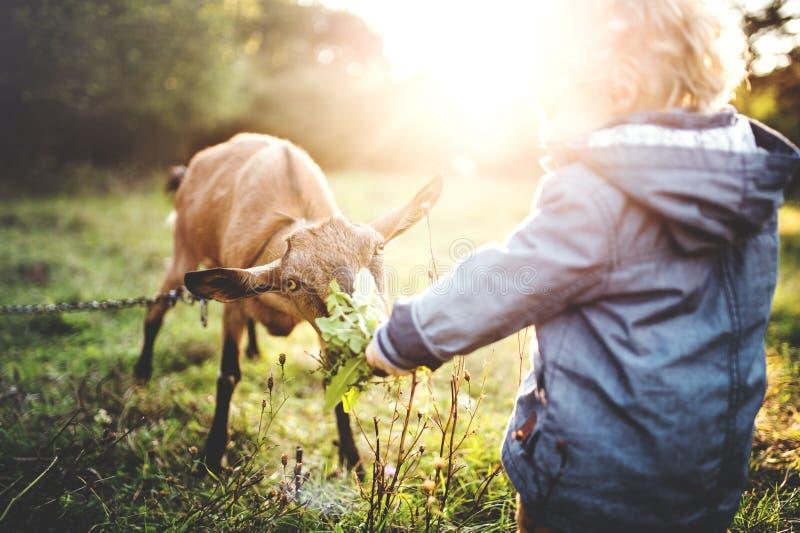 Een kleine peuterjongen die een geit in openlucht op een weide voeden bij zonsondergang stock afbeelding