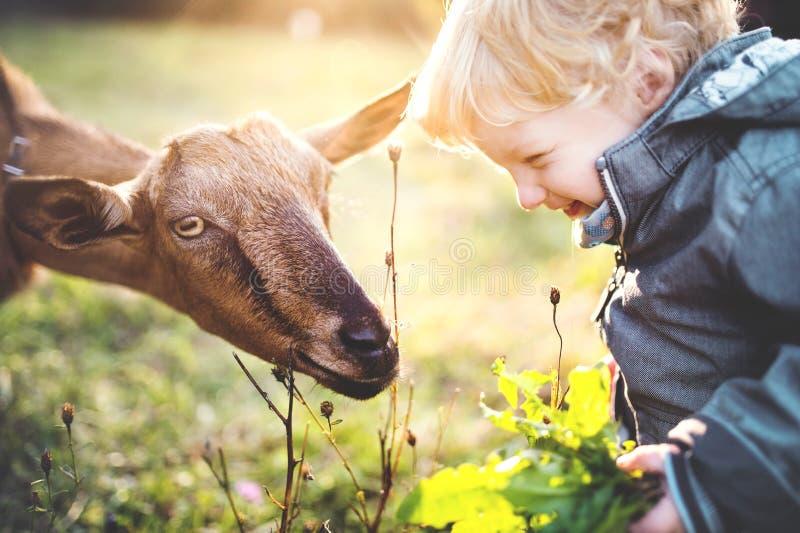 Een kleine peuterjongen die een geit in openlucht op een weide voeden bij zonsondergang royalty-vrije stock foto