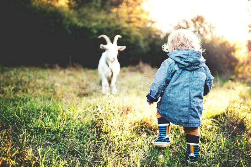 Een kleine peuterjongen en een geit in openlucht op een weide bij zonsondergang stock foto