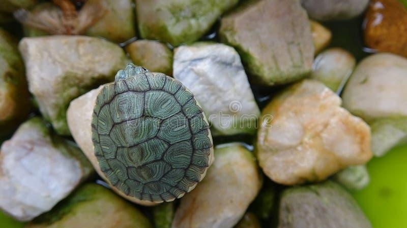 Een kleine schildpad rust op een steen royalty-vrije stock fotografie