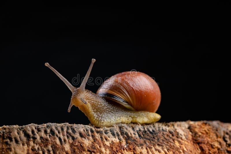 Een kleine slakslak op een stuk van hout Langzaam kruipende slak met een huis op de rug stock afbeelding