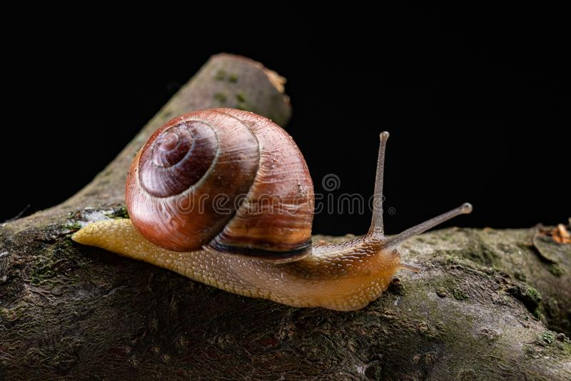 Een kleine slakslak op een stuk van hout Langzaam kruipende slak met een huis op de rug stock foto