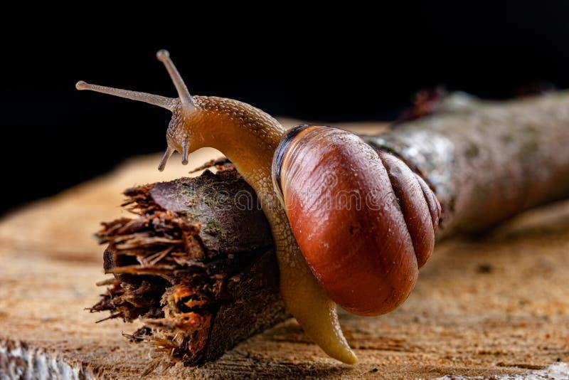 Een kleine slakslak op een stuk van hout Langzaam kruipende slak met een huis op de rug royalty-vrije stock afbeelding