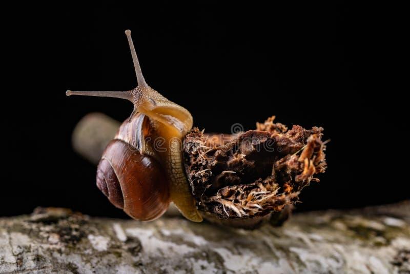 Een kleine slakslak op een stuk van hout Langzaam kruipende slak met een huis op de rug stock fotografie
