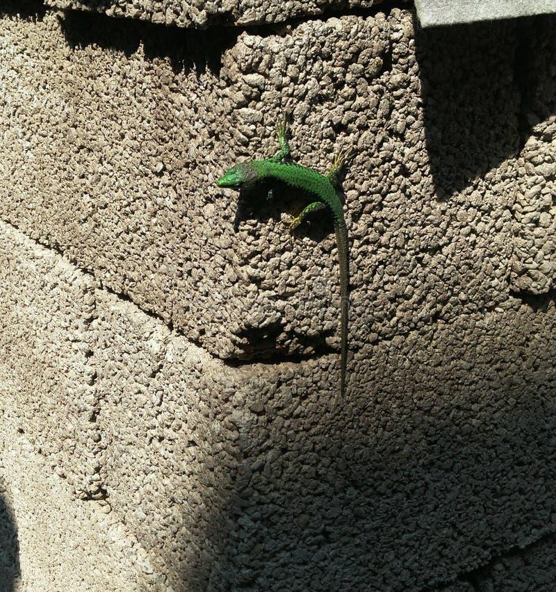 Een kleine smaragdgroene hagedis zit op een koppeling van grijze schuimblokken de reptielneiging aan de linkerzijde, staart in sc royalty-vrije stock foto