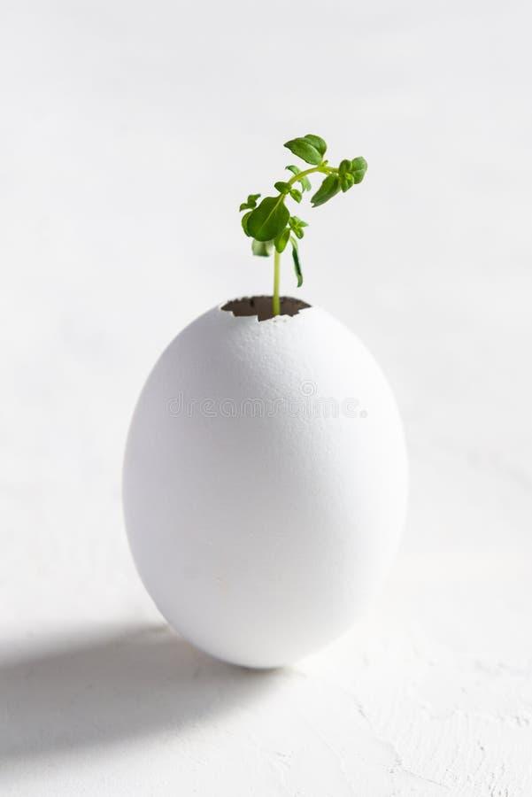 Een kleine spruit van een boom of een installatie groeit in de grond in een eierschaal op een witte achtergrond Creatief idee royalty-vrije stock foto