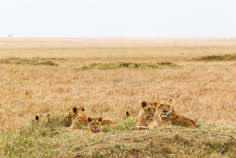 Een kleine trots van jonge leeuwen rust in de savanne Masai Mara, Afrika stock fotografie