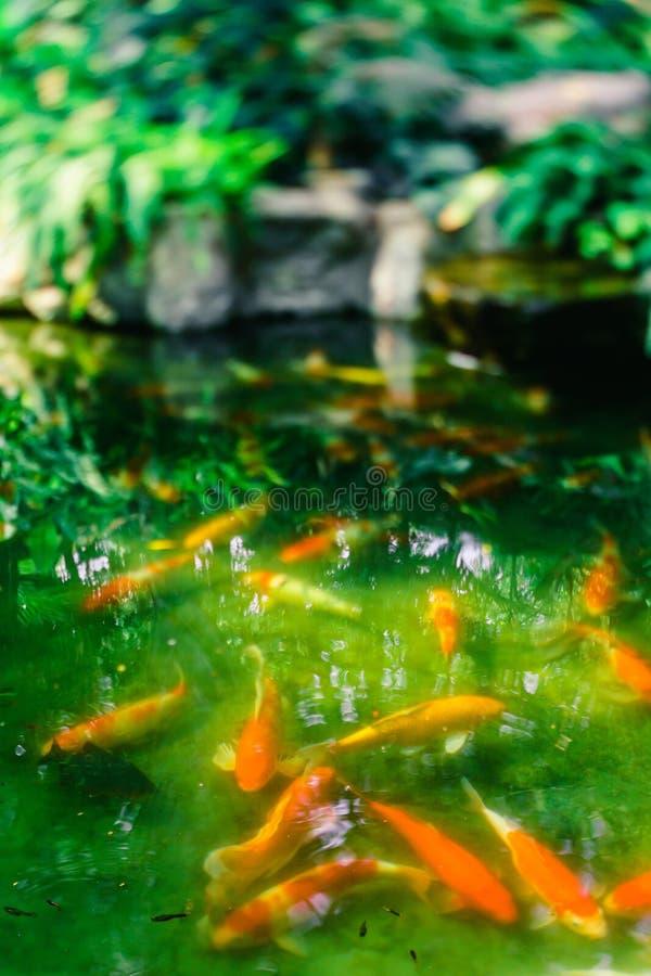 Een kleine vijver met forel De oranje forelvissen zwemmen in het water stock foto