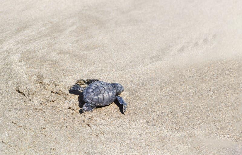 Een kleine zeeschildpad die langs het zandige strand naar de oceaan kruipen om te overleven stock foto's