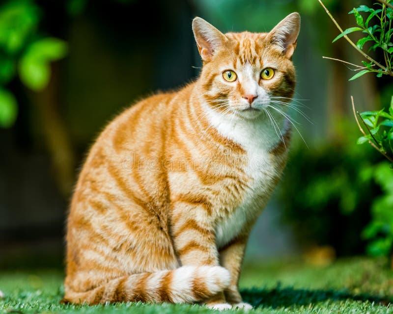 Een kleine zitting van de gemberkat op het gras met rond gekrulde staart stock afbeelding