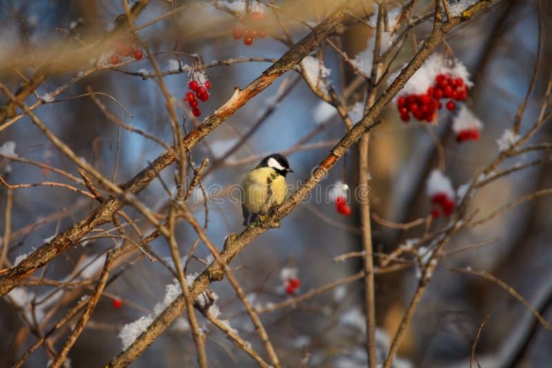 Een kleine zitting van vogelchickadee op een tak van lijsterbes royalty-vrije stock afbeeldingen