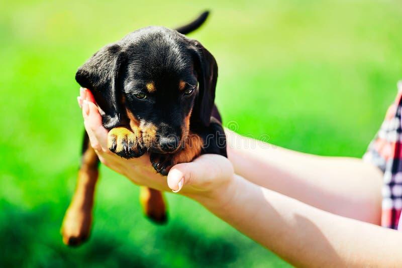 Een kleine zwarte hond ligt op de handen van een meisje Vrouwelijke handen die een tekkelpuppy op een achtergrond van groen gras  royalty-vrije stock foto's