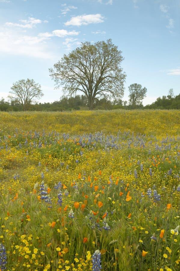 Een kleurrijk boeket van de lente bloeit en van Californië Papavers dichtbij Meer Hughes, CA royalty-vrije stock fotografie