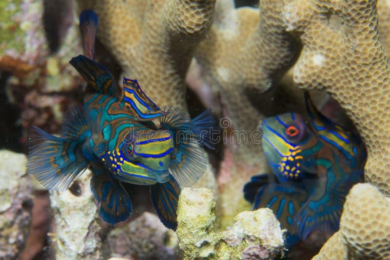 Een kleurrijk paar van mandarin vissen in liefde stock afbeelding